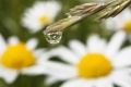 Dew drop on grass and Daisies...