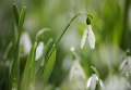 Snowdrops (Galanthus nivalis)...