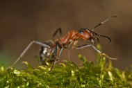 Southern Wood Ant or Horse An...