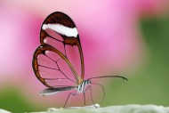 Glasswing - or Glass Wing But...