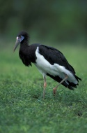 Abdim`s Stork, White-bellied ...