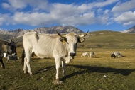 Cow in front of the mountain ...