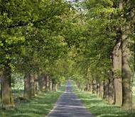 Oak-lined road, path, Oak (Qu...