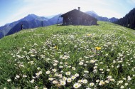 Meadow with Tanacetum alpinum...
