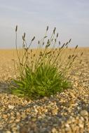 Ribwort Plantain (Plantago la...