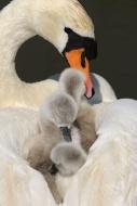 Mute Swan (Cygnus olor), thre...