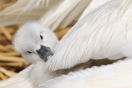 Mute Swan (Cygnus olor), cygn...