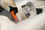 Mute Swan (Cygnus olor), two ...