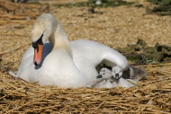 Mute Swan (Cygnus olor), adul...