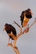 Abdim\'s Stork (Ciconia abdim...