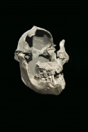 Australopithecus boisei skull...