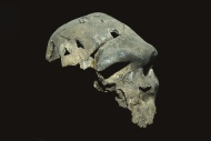Homo rhodesiensis skull, Addi...