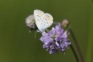 Common Blue (Polyommatus icar...