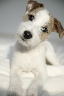 Parson Russell Terrier puppy,...