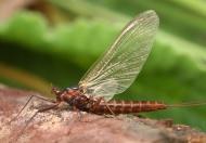 Ruhende Eintagsfliege (Baetidae)