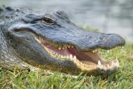 USA, Florida, Alligator, clos...