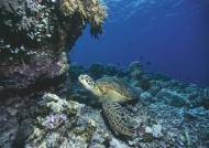 Marine turtle on coral reef