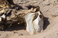 Donkey carcass in the desert,...