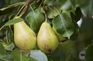 Germany, Huenfelden, pears on...