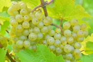 Ripe grapes, Riesling variety...