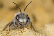 Grey Mining Bee (Andrena vaga...