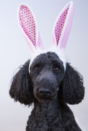 King Poodle dressed as an Eas...