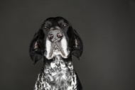 Portrait of German Shorthaire...