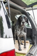 German Shorthaired Pointer st...