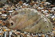 Abalone / Common ormer / Lame...