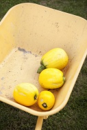 Four yellow courgette lying i...