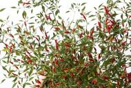 Bush of Chili Pequin