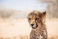 Namibia, portrait of cheetah cub