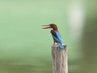 White-throated kingfisher, Ha...