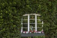 Window in between ivy on hous...