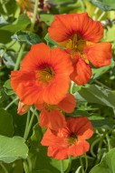 Garden nasturtium / Indian cr...