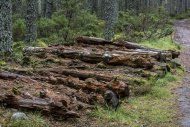 Pile of decaying pine tree tr...