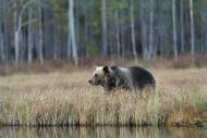 Finland, Kainuu, brown bear