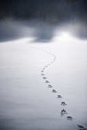 Tracks of wild animal in the ...