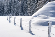 Snow-covered trees and fence
