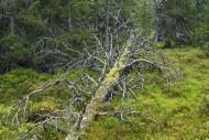 Fallen tree trunk left to rot...