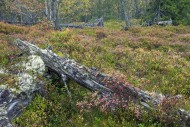 Fallen tree trunk covered in ...