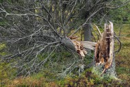 Broken pine tree trunk left t...