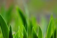 Leaves of the iris (Iridaceae)