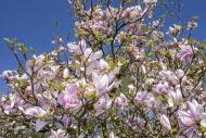 Flowering Sprenger\'s magnoli...