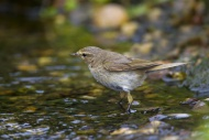 Willow warbler (Phylloscopus ...