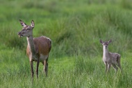 Red deer (Cervus elaphus) hin...