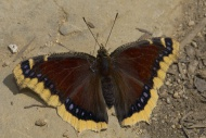 Mourning Cloak (Nymphalis ant...