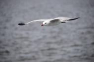 Flying Seagull (Laridae)