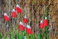 Tulips (Tulipa, Lilioideae), ...