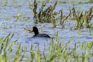 Eurasian coot (Fulica atra) i...